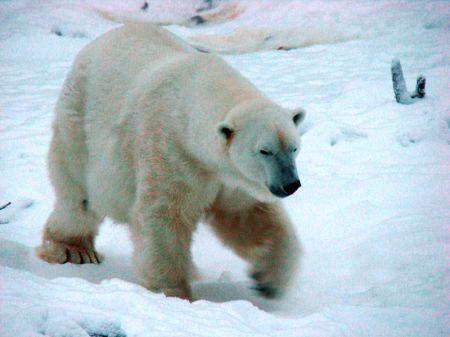 800px-polar_bear_5