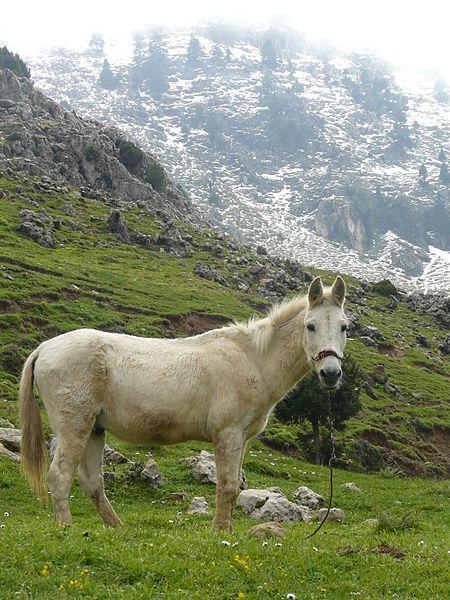 450px-Mule